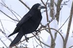 Rook (Corvus frugilegus)